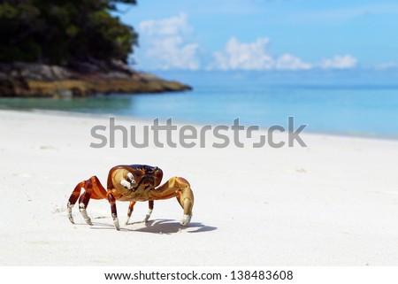 Chicken Crab on the beach of Tachai Island, Similan Islands National Park, Phang Nga, Thailand - stock photo