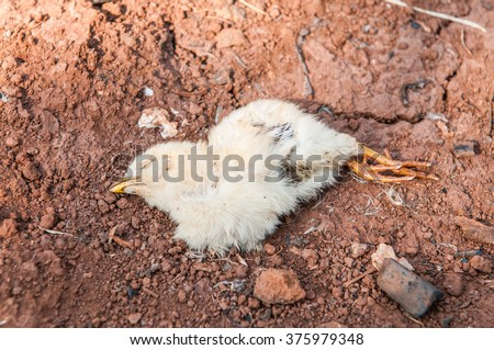 chicken dead on the ground - stock photo