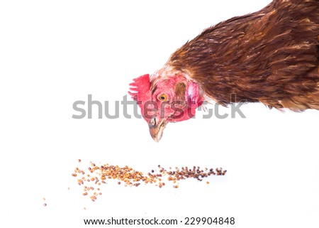 Chicken  eating - stock photo