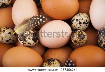 Chicken eggs and quail eggs with feathers - food background - stock photo
