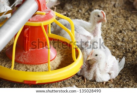 chicken farm with feed for meat, no avian influenza - stock photo