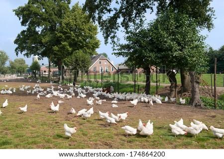 Chicken farm with many free land chicken around - stock photo