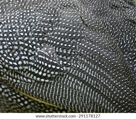 Chicken,Guineafowl, Guineahen ( Numididae)