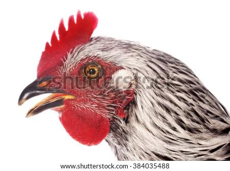 Chicken head profile close up - stock photo
