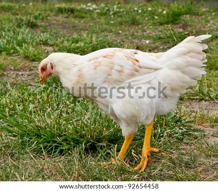 Chicken Hen outdoors on grass - stock photo