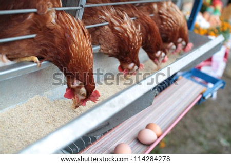Chicken husbandry for eggs - stock photo