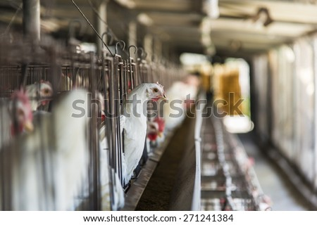 Chicken in Coop  - stock photo