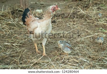chicken in farm - stock photo