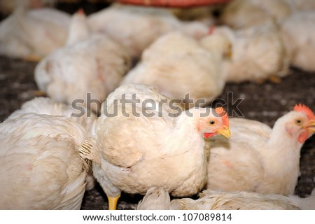 Chicken in poultry farm, selective focus. - stock photo