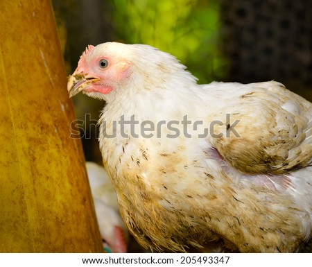 Chicken in poultry farm, selective focus.