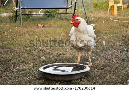 Chicken in the yard. Poultry in free range. Summer in a Ukrainian village. - stock photo