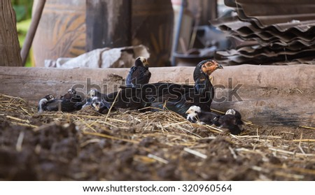 Chicken is lying in a stables. - stock photo