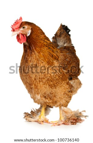 Chicken isolated on white - stock photo