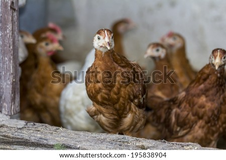 Chicken looks through hen house open door with other chickens blurred in background - stock photo