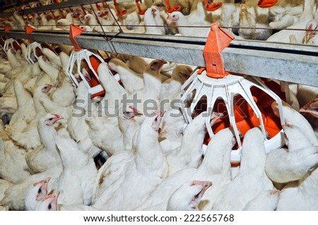 Chicken near automatic feeders food on the farm - stock photo