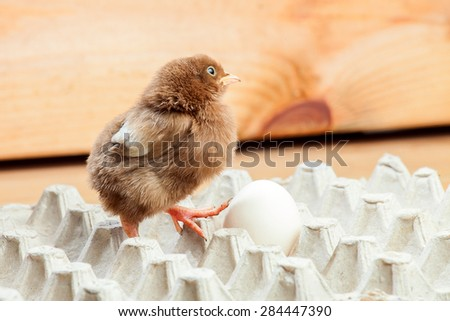 Chicken of a rooster in a paper tray for eggs on a wooden background, a chicken with egg. - stock photo