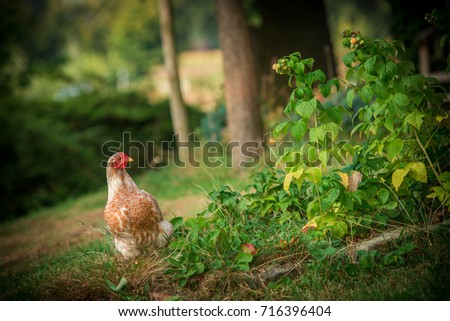 Chicken on the farm
