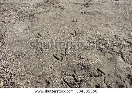 chicken tracks - stock photo