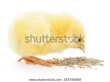 chicken with food on a white background. - stock photo
