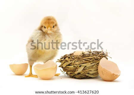 chicken with shell of an Eggs. fluffy yellow chick isolated on white background - stock photo