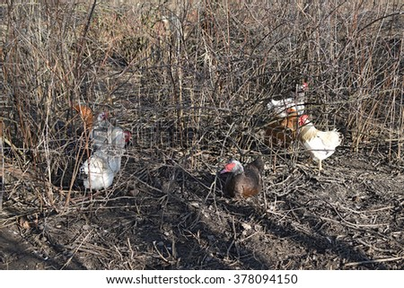 Chickens are hiding in the bush currant. Chickens in the household. - stock photo