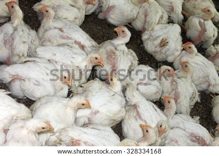 Chickens at the poultry farm, industrial cultivation of a bird