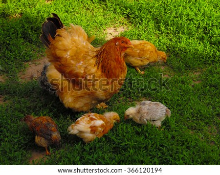 chickens. chicken hen with chickens walking around the yard. They graze the grass. Chicks learn and grow very quickly. Within a short period of time they become fully independent.   - stock photo
