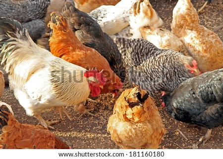 Chickens eating. Chickens on a farm. - stock photo