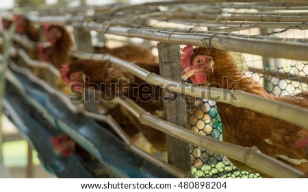 Chickens egg farm in wooded ranch cage