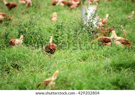 Chickens freely roaming on a farm in New South Wales
