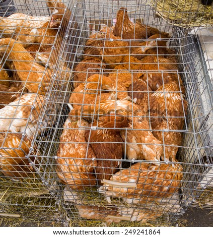 Chickens in a cage. - stock photo