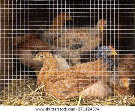 chickens in the cage - stock photo