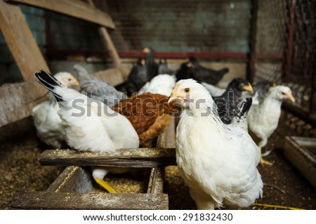 chickens in the coop - stock photo