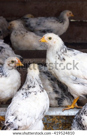 chickens in the henhouse