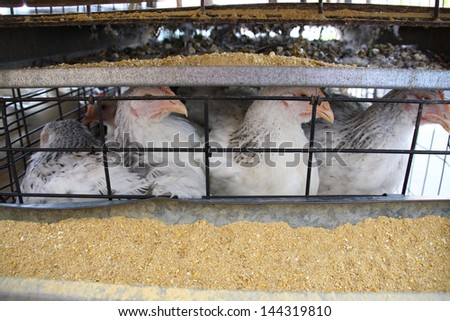 Chickens kept in a tiny cage