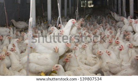 Chickens. Poultry farm - stock photo