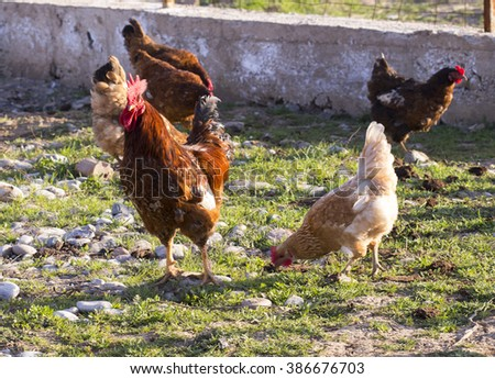 Chickens walking in the yard