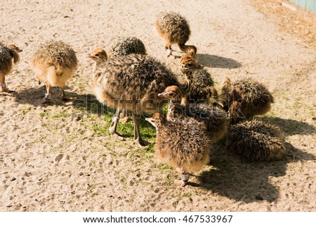 chicks African ostrich walking