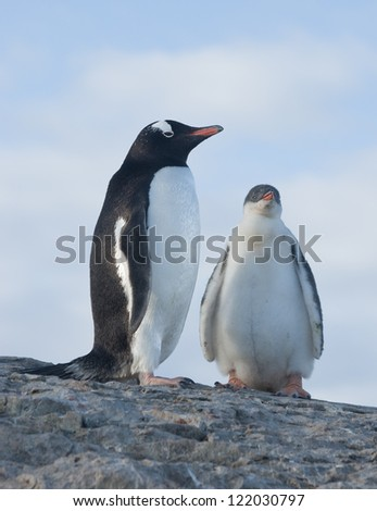 Chicks and female Gentoo penguins (Pygoscelis papua).