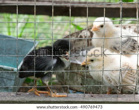 Chicks in a cage, soft focus black chick in cage