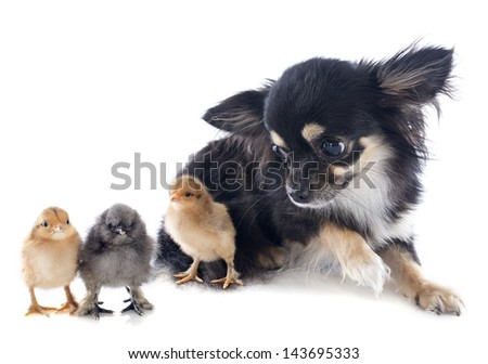 chicks of bantam and chihuahua on a white background