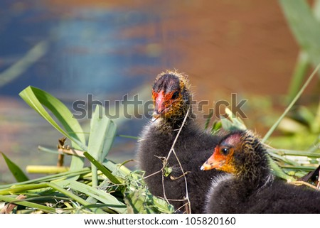 Chicks of coot birds in nest - stock photo