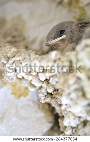 "chicks of the species known as ""crag"" in a nest, Huesca, Aragon, Spain. - stock photo"