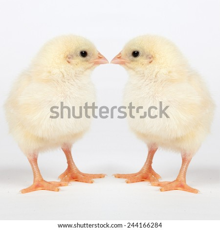 Chicks on  white - easter concept - stock photo
