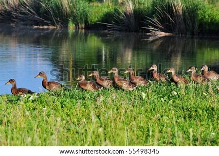 chicks row of mallard - stock photo