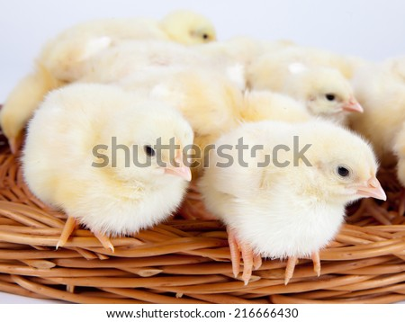 Chicks standing in a wicker basket, close up