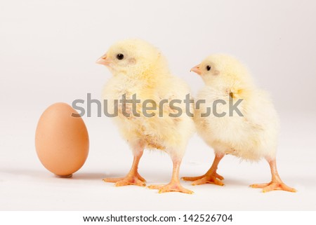 Chicks with egg on white - easter concept
