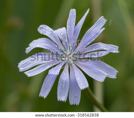 Chicory, blue flower