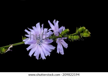Chicory, Cichorium intybus, isolated on a black background