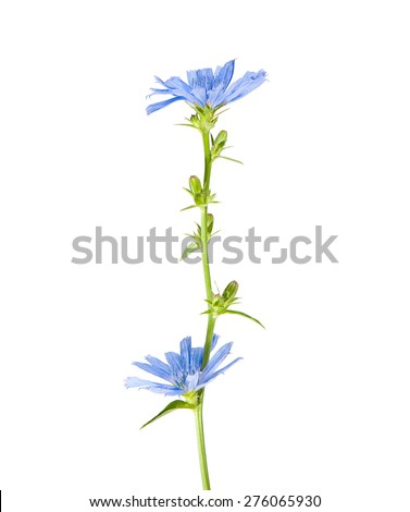 Chicory flowers, isolated on white - stock photo